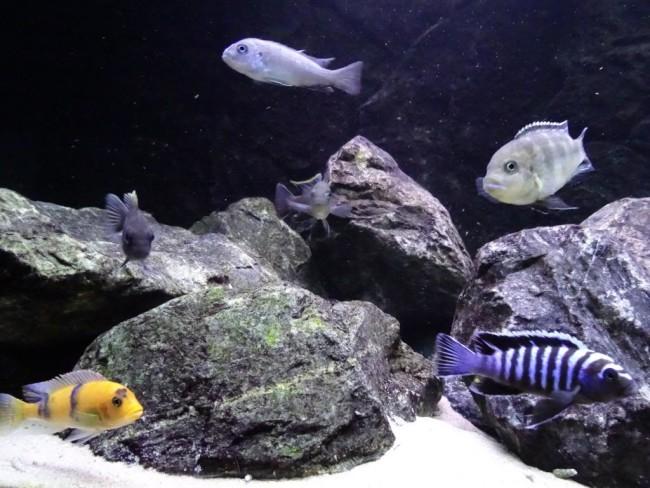 Камни в аквариуме с цихлидами.