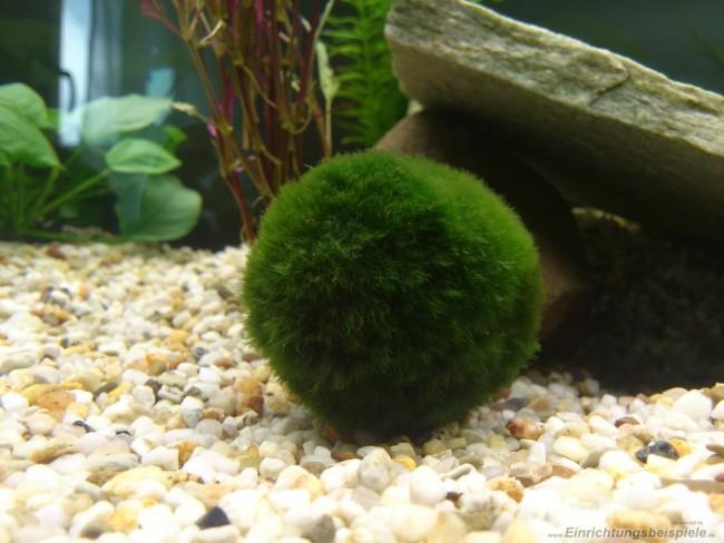 Aegagropila linnaei в аквариуме.