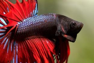 Сиамская бойцовая рыбка.