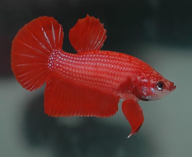 Самка рыбы петушка.