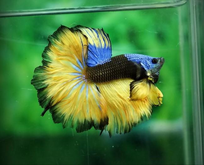 Петушок желто-черно-синего окраса.