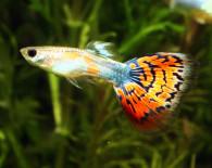 Неприхотливые аквариумные рыбки гуппи.