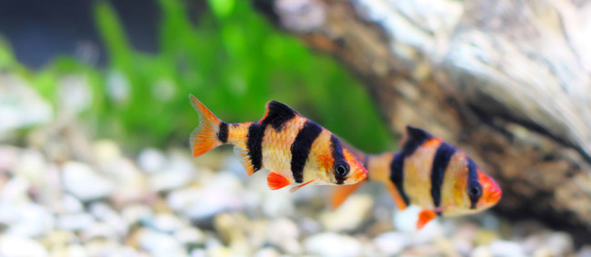 Неприхотливые аквариумные рыбки барбусы.