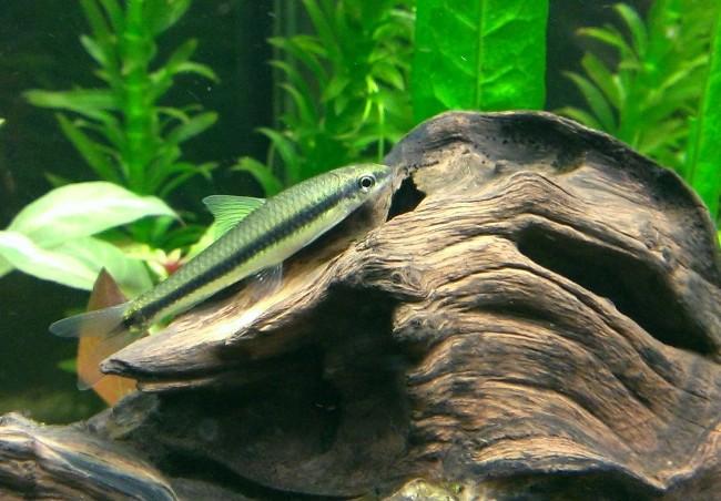 Сиамский водорослеед на дне аквариума.