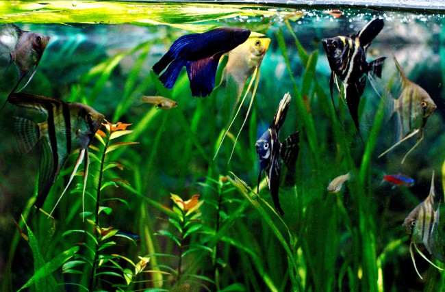 Скалярии с рыбкой петушок.
