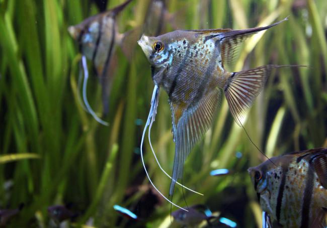 Рыба-ангел.