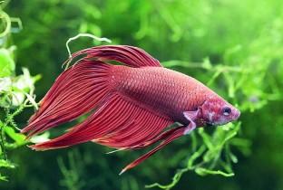 Бордовый петушок в аквариуме.