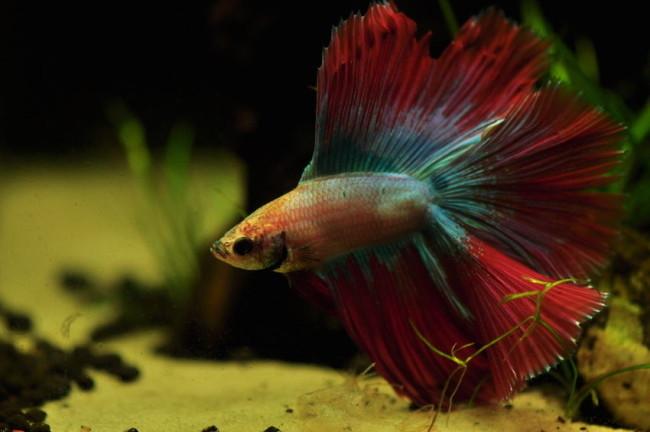 Разноцветный петушок в аквариуме.