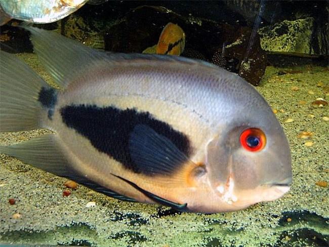 Уару чернопятнистый в аквариуме.