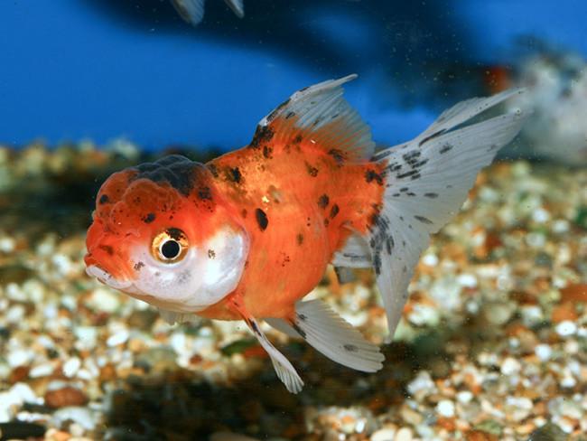 Золотая рыбка в аквариуме.