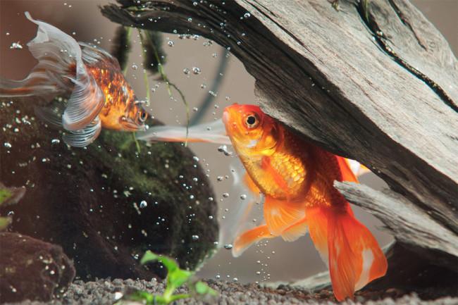 Золотые аквариумные рыбки.