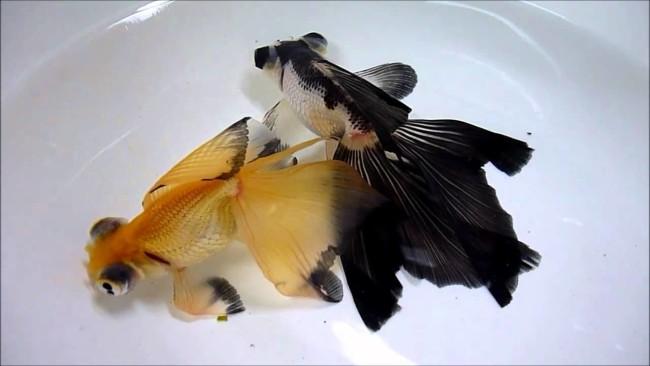Золотые рыбы-бабочки.