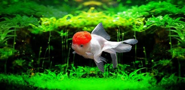 Золотая рыбка оранда.