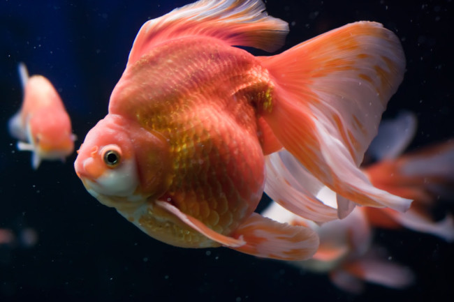 Золотая рыбка рюкин.