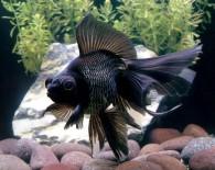 Черные аквариумные рыбки.