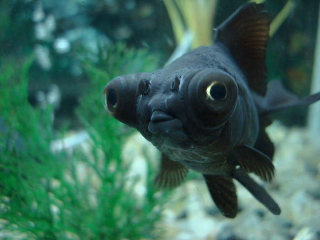 Рыбка черный телескоп.