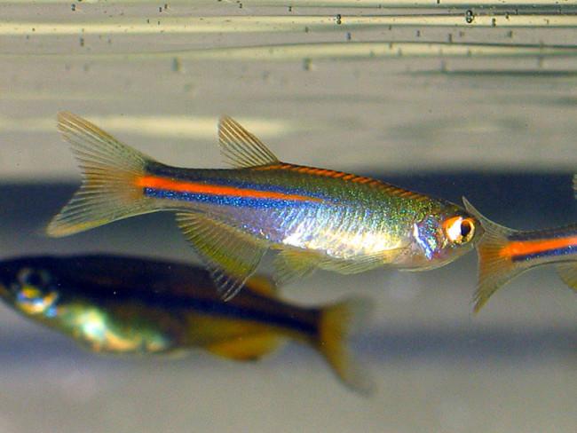 Brachydanio albolineatus.