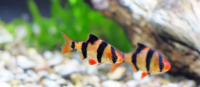 Барбусы стайные рыбки.