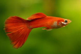 Красные рыбки.