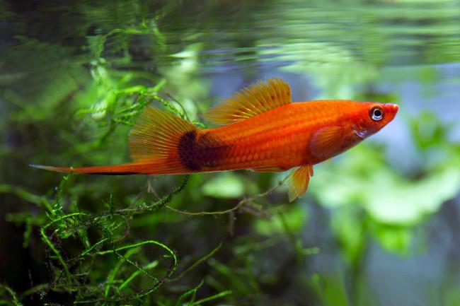 Красный меченосец в аквариуме.