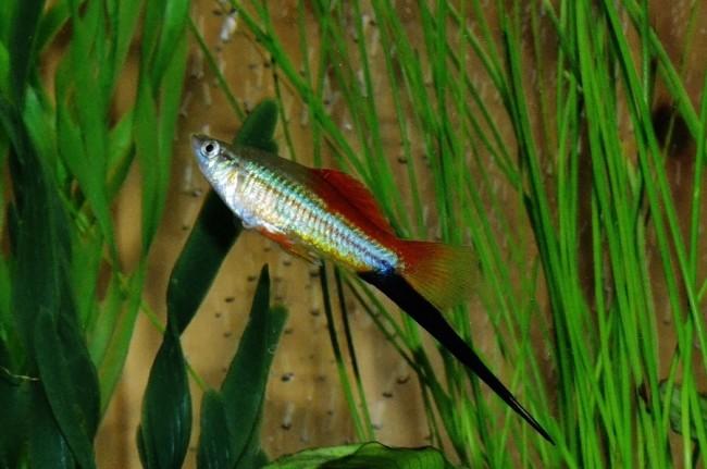 Xiphophorus hellerii.