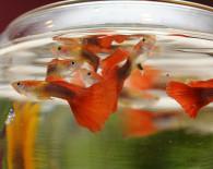 Гуппи в круглом аквариуме.