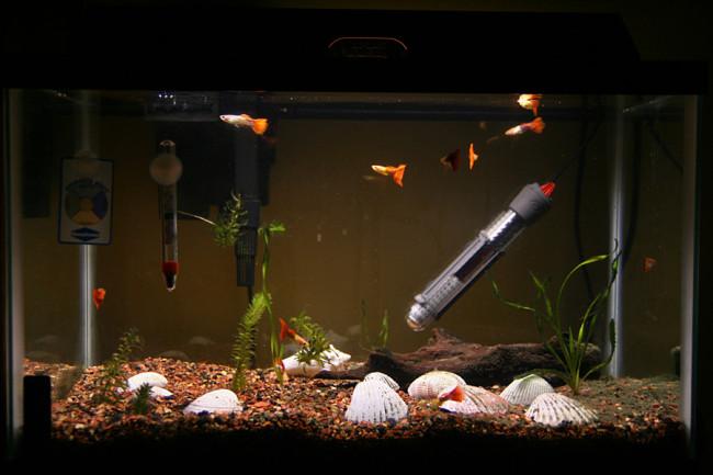 Гуппи в просторном аквариуме.