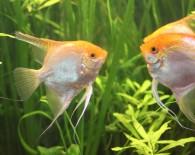 Размножаем скалярий в общем аквариуме дома.