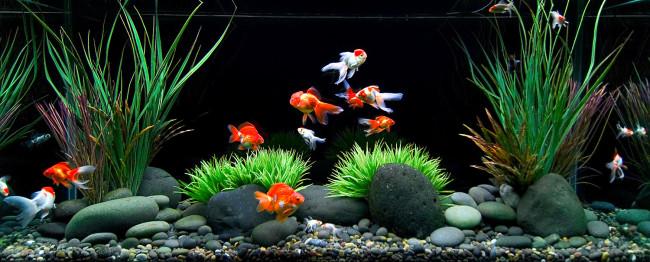 Совместимость золотых рыбкок с другими видами.