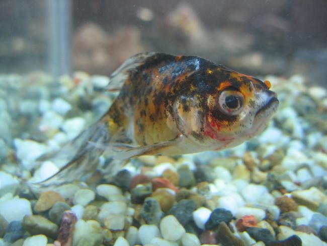 Больная золотая рыбка.