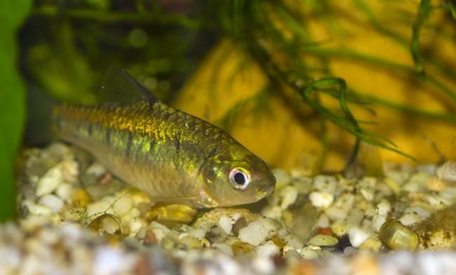 Золотой барбус зеленоватого окраса.