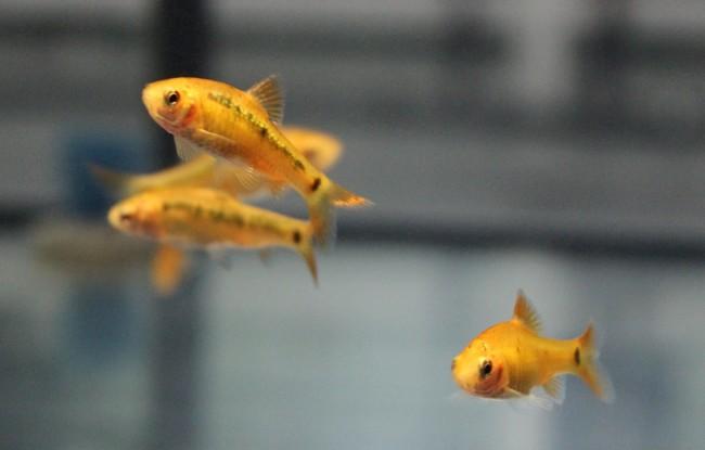 Золотой барбус в аквариуме.