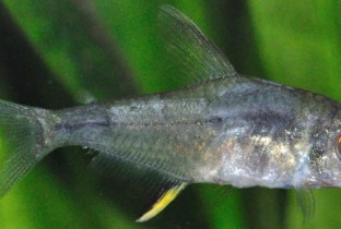 Белый налет на теле рыбки.