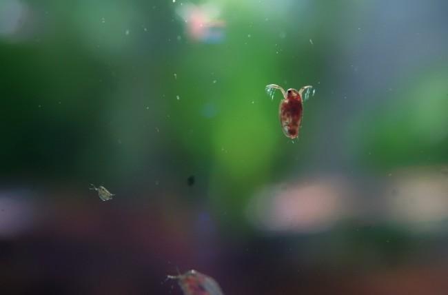 Дафния в домашнем аквариуме.