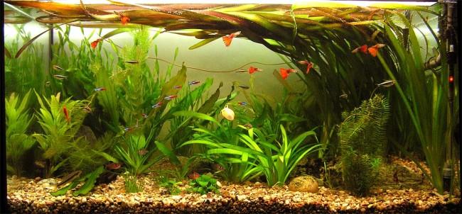 Валлиснерия гигантская в аквариуме с рыбками.