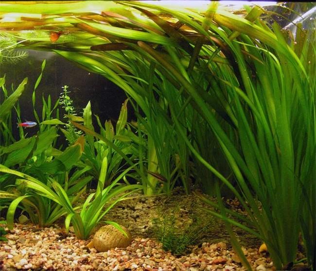 Валлиснерия гигантская в аквариуме.