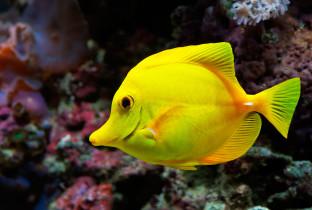 Зебраcома желтая.