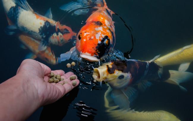 Сухие корма для аквариумных рыб кои.