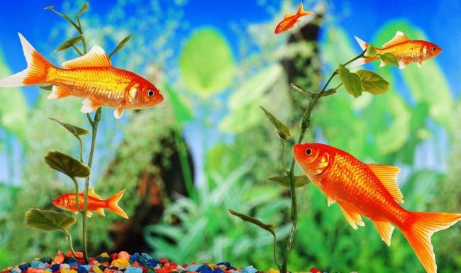 Уход за рыбками в аквариуме.