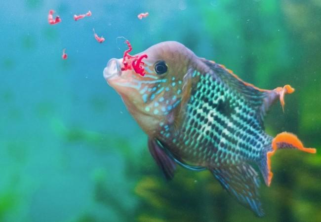Живой корм для аквариумных рыбок.