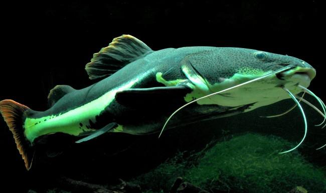 Крупные аквариумные рыбки.